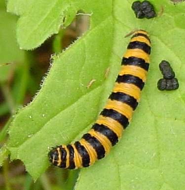 The wandering caterpillar